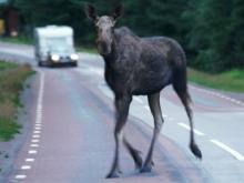 Если сбил животное на дороге