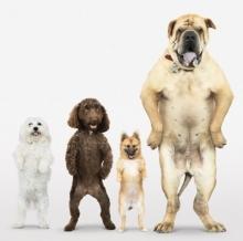 Собаки «в законе»