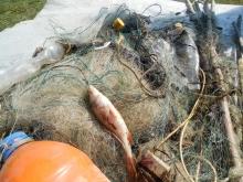 За один рейд близ Челнов рыболовы-любители извлекли 37 браконьерских сетей