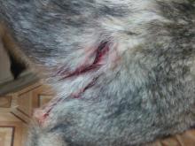 В приюте для собак 'Верность' появился еще один питомец, расстрелянный живодерами