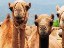 В Спасском районе Татарстана фермер выращивает верблюдов. У него их пока только 24. Но будет больше